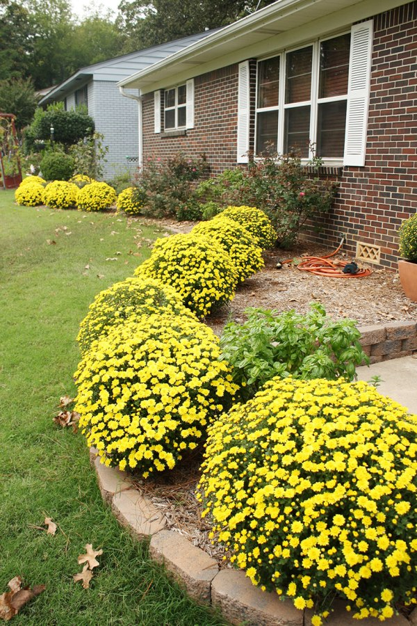 Mums the Word | Rosemary on the TV #fall #mums #curbappeal