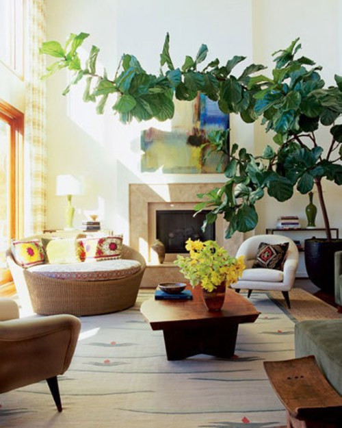 Fiddle Leaf Fig Tree | Rosemary on the TV